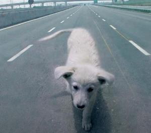 cane autostrada