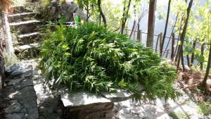 piante cannabis carabinieri 1